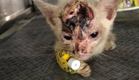 bé mèo bị thương nặng phần đầu